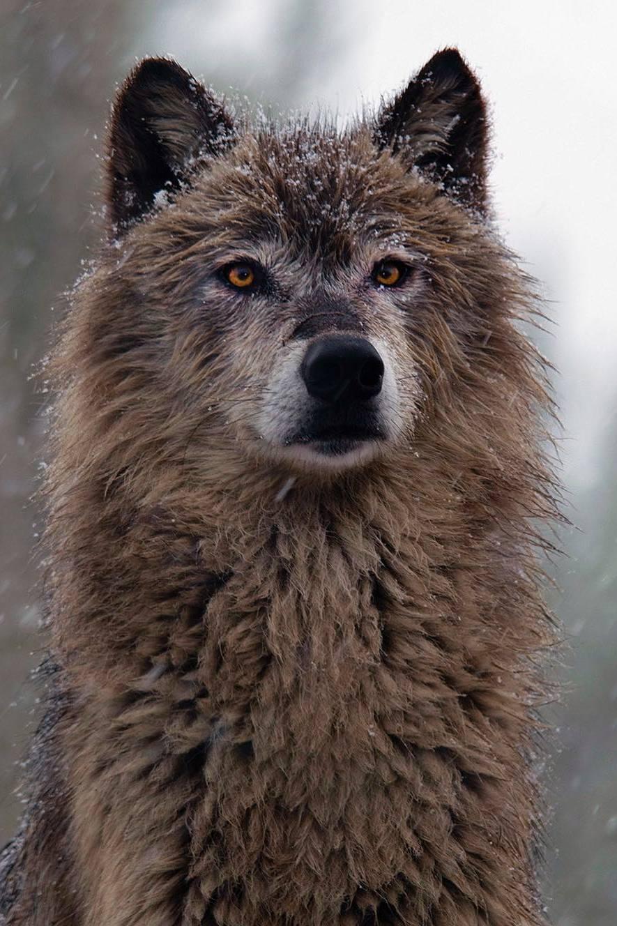 wolf mammal wildlife nature fur predator animal wild winter snow