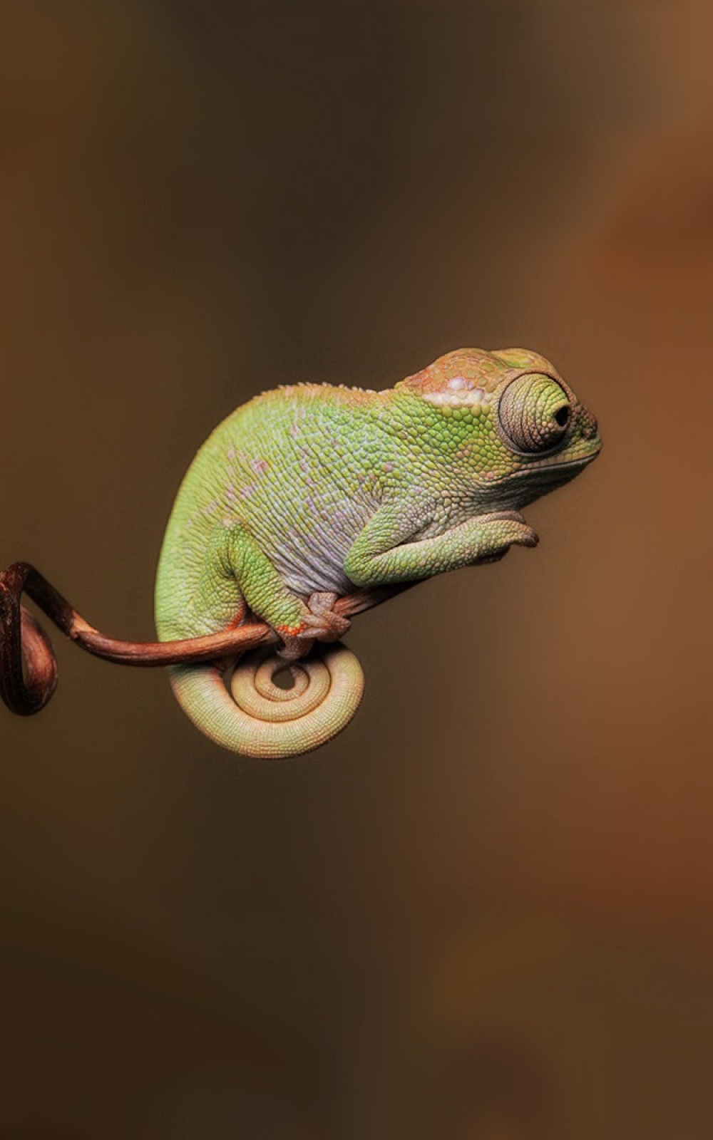 chameleon wildlife reptile animal nature portrait lizard side view one color tree