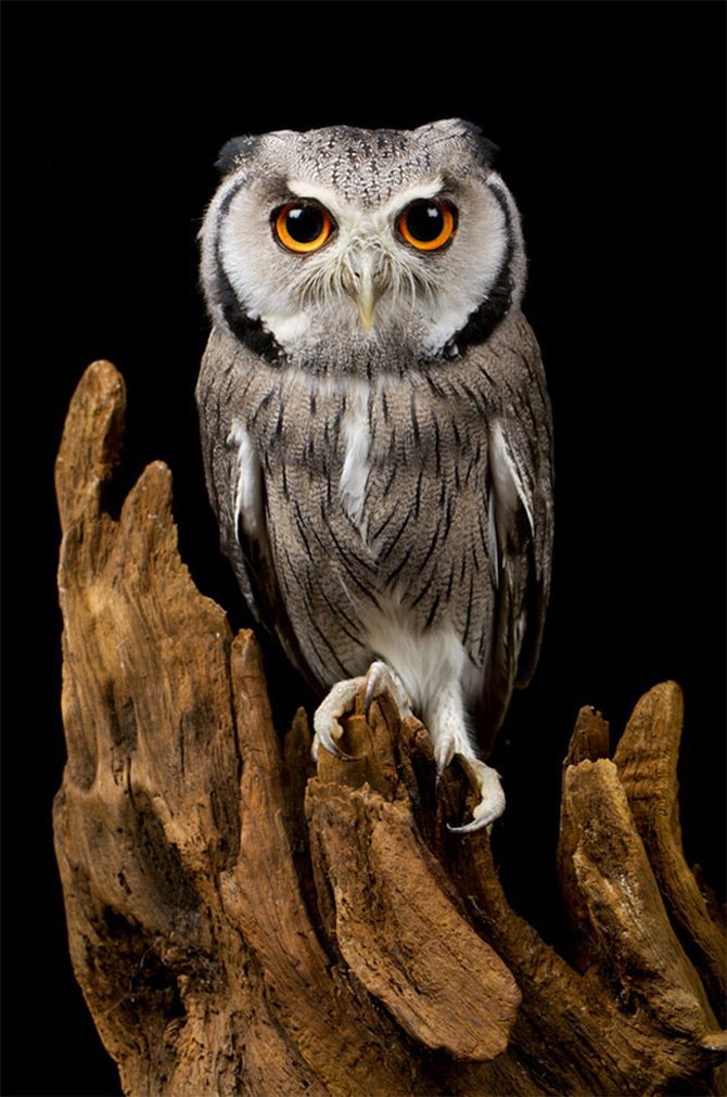 owl bird wildlife raptor animal nature eye portrait wild beak prey feather avian