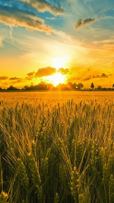 cereal wheat crop agriculture corn rural pasture farm field bread sun