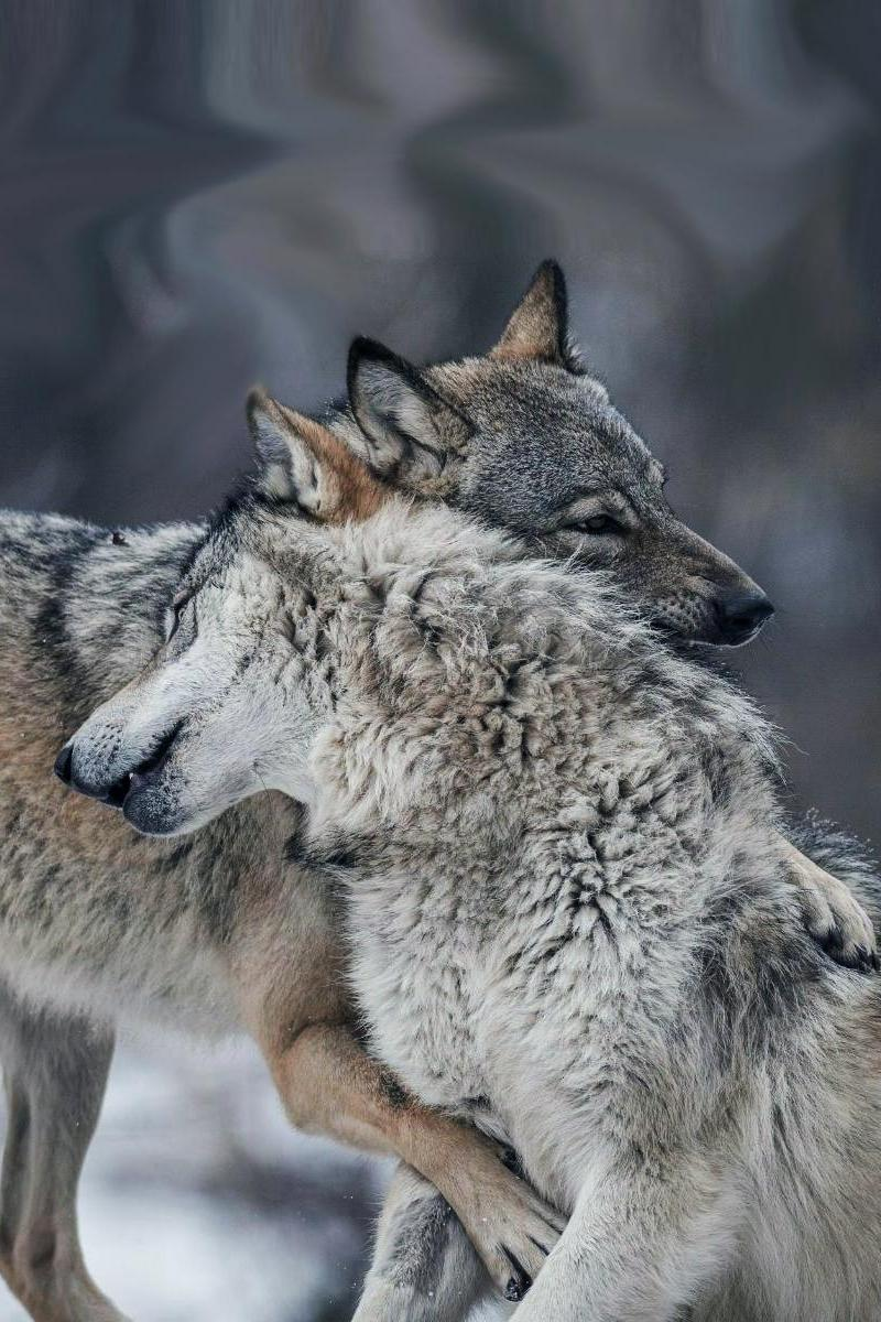 wolfs mammal wildlife animal nature grey wild predator forest
