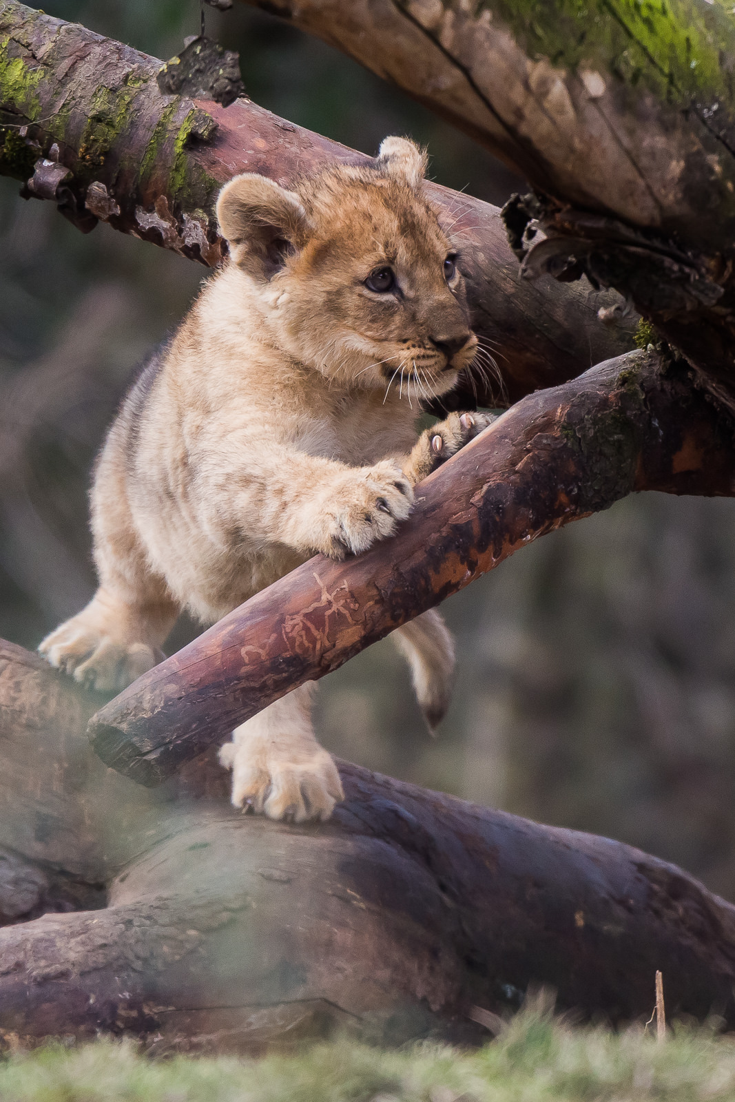 lion baby cute mammal wildlife predator zoo nature animal cat wild