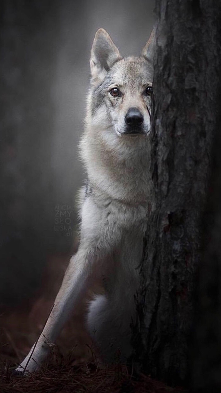 wolf mammal canine dog wood portrait nature wildlife outdoors one grey fur animal tree