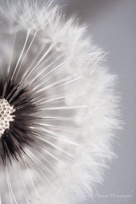 dandelion downy nature delicate wind bright summer flower seed abstract softness