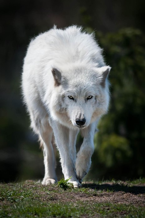 wolf mammal nature wildlife canine dog wild predator animal fur grass frosty