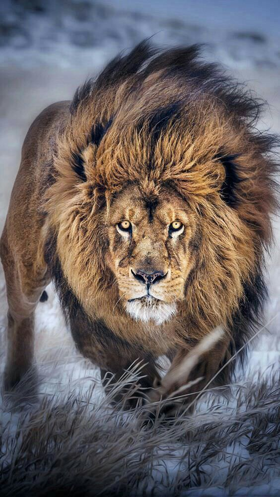 lion mammal wildlife cat fur animal predator portrait wild zoo nature big