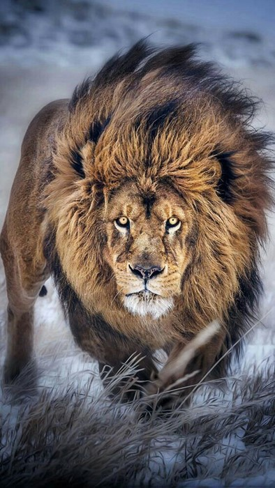 lion mammal wildlife cat fur animal predator portrait wild zoo nature big
